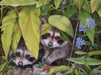 Nature Art, painting of two raccoons by Judy Schrader