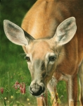 Wildlife Art, painting of a little whitetail doe by Judy Schrader