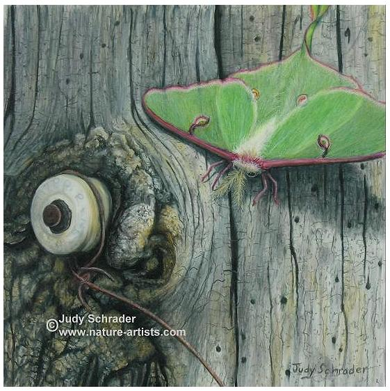 Drawing of a luna moth by Judy Schrader