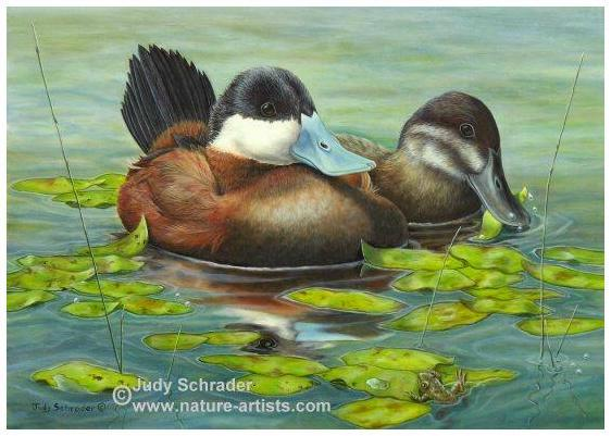 Original Oil Painting of Ruddy Ducks by Judy Schrader